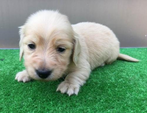カニンヘンダックスフンド(ロング)の子犬(ID:1246311056)の1枚目の写真/更新日:2017-05-20
