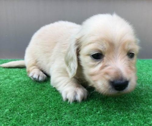 カニンヘンダックスフンド(ロング)の子犬(ID:1246311056)の2枚目の写真/更新日:2017-05-20