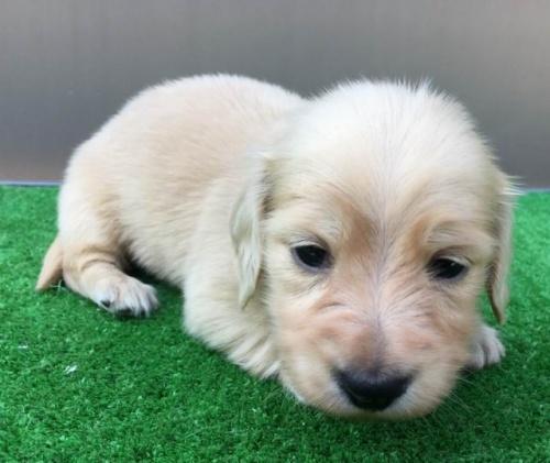 カニンヘンダックスフンド(ロング)の子犬(ID:1246311056)の3枚目の写真/更新日:2017-05-20