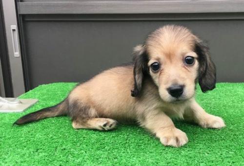 カニンヘンダックスフンド(ロング)の子犬(ID:1246311057)の1枚目の写真/更新日:2017-05-20