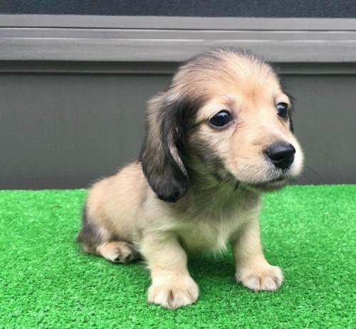 カニンヘンダックスフンド(ロング)の子犬(ID:1246311057)の2枚目の写真/更新日:2017-05-06