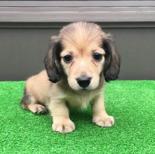 カニンヘンダックスフンド(ロング)の子犬(ID:1246311057)の3枚目の写真/更新日:2019-07-11
