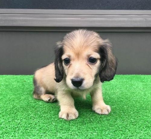 カニンヘンダックスフンド(ロング)の子犬(ID:1246311057)の5枚目の写真/更新日:2019-07-11