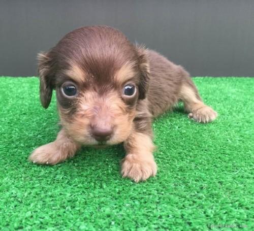 カニンヘンダックスフンド(ロング)の子犬(ID:1246311058)の1枚目の写真/更新日:2017-05-20