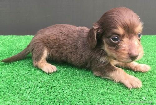 カニンヘンダックスフンド(ロング)の子犬(ID:1246311058)の2枚目の写真/更新日:2017-05-20