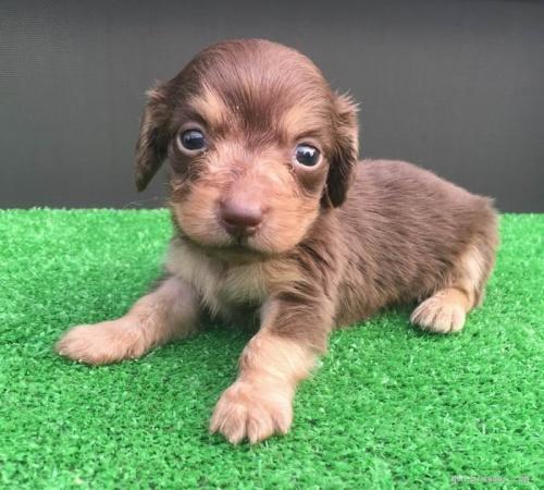 カニンヘンダックスフンド(ロング)の子犬(ID:1246311058)の3枚目の写真/更新日:2017-05-20