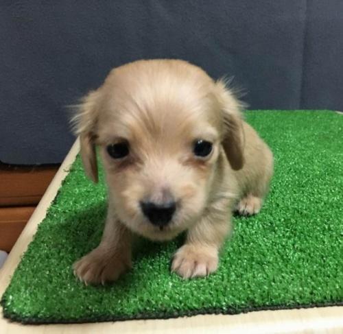 カニンヘンダックスフンド(ロング)の子犬(ID:1246311059)の1枚目の写真/更新日:2019-06-14