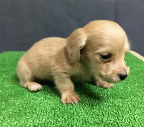 カニンヘンダックスフンド(ロング)の子犬(ID:1246311059)の3枚目の写真/更新日:2019-06-14