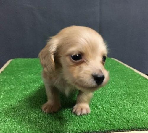 カニンヘンダックスフンド(ロング)の子犬(ID:1246311059)の4枚目の写真/更新日:2019-07-07