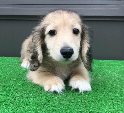 カニンヘンダックスフンド(ロング)の子犬(ID:1246311060)の1枚目の写真/更新日:2019-05-31