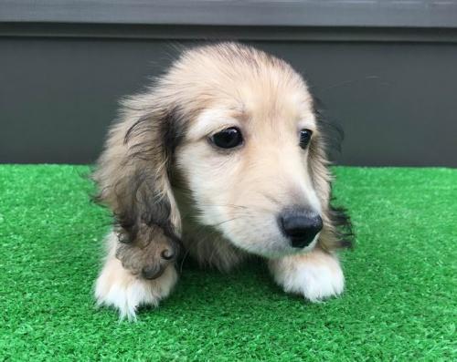 カニンヘンダックスフンド(ロング)の子犬(ID:1246311060)の2枚目の写真/更新日:2019-05-31