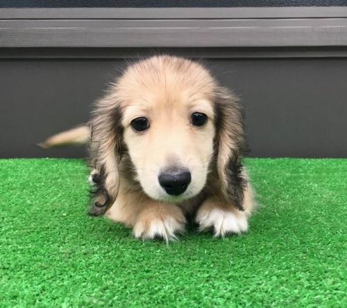 カニンヘンダックスフンド(ロング)の子犬(ID:1246311060)の3枚目の写真/更新日:2019-05-31