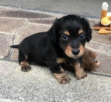 カニンヘンダックスフンド(ロング)の子犬(ID:1246311061)の1枚目の写真/更新日:2017-07-18