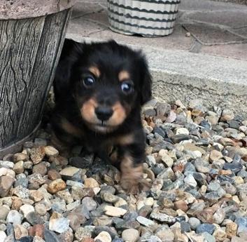 カニンヘンダックスフンド(ロング)の子犬(ID:1246311061)の2枚目の写真/更新日:2017-07-18