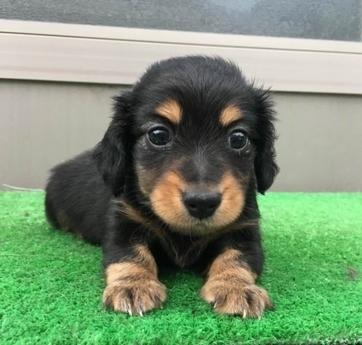 カニンヘンダックスフンド(ロング)の子犬(ID:1246311061)の3枚目の写真/更新日:2017-07-18