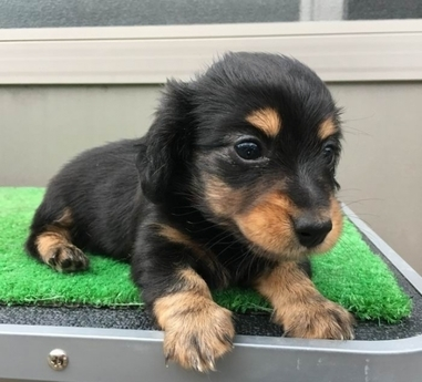 カニンヘンダックスフンド(ロング)の子犬(ID:1246311061)の4枚目の写真/更新日:2017-07-18