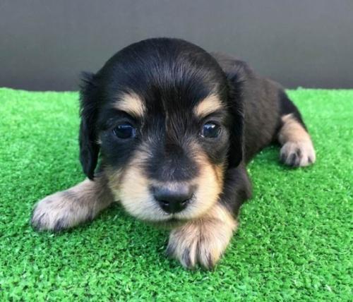 カニンヘンダックスフンド(ロング)の子犬(ID:1246311062)の1枚目の写真/更新日:2017-07-27