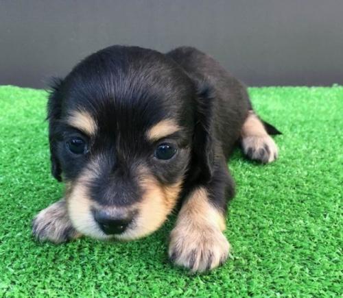 カニンヘンダックスフンド(ロング)の子犬(ID:1246311062)の3枚目の写真/更新日:2017-07-27