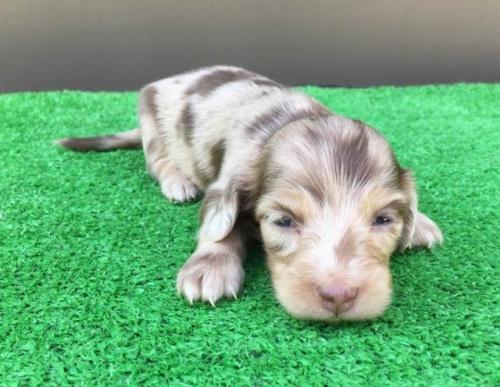 カニンヘンダックスフンド(ロング)の子犬(ID:1246311063)の5枚目の写真/更新日:2021-10-05