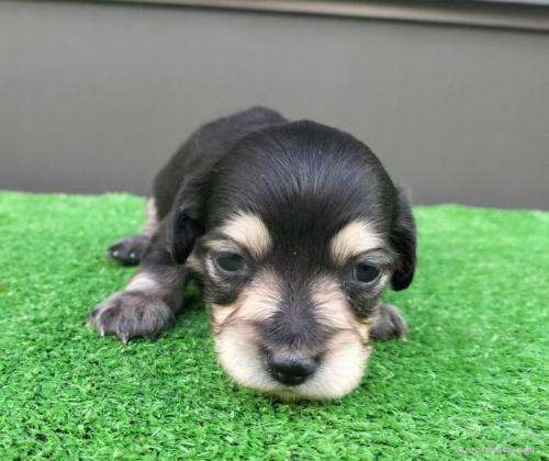 カニンヘンダックスフンド(ロング)の子犬(ID:1246311064)の1枚目の写真/更新日:2017-07-27
