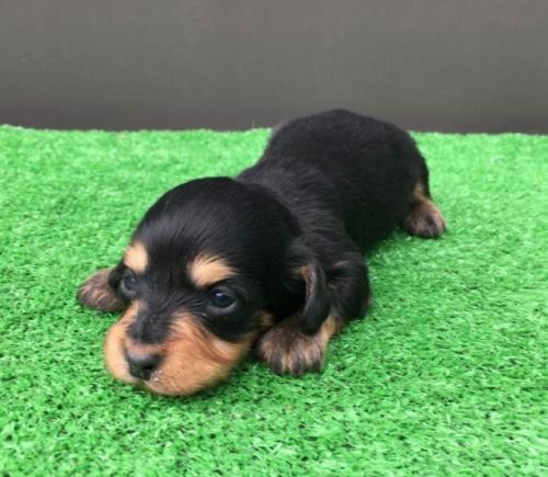カニンヘンダックスフンド(ロング)の子犬(ID:1246311066)の1枚目の写真/更新日:2020-03-11