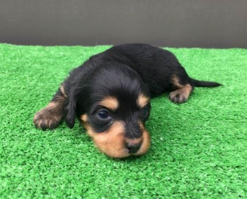カニンヘンダックスフンド(ロング)の子犬(ID:1246311066)の2枚目の写真/更新日:2017-09-20