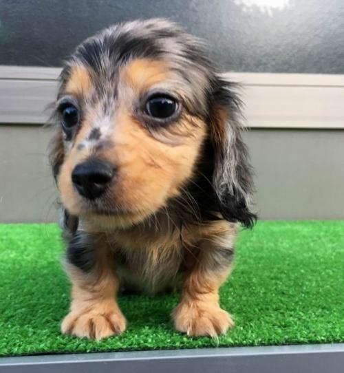 カニンヘンダックスフンド(ロング)の子犬(ID:1246311067)の2枚目の写真/更新日:2017-10-02