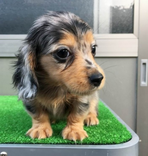 カニンヘンダックスフンド(ロング)の子犬(ID:1246311067)の3枚目の写真/更新日:2017-10-02