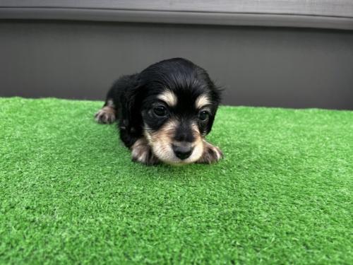 カニンヘンダックスフンド(ロング)の子犬(ID:1246311068)の1枚目の写真/更新日:2017-10-02