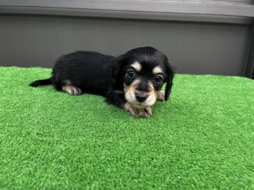 カニンヘンダックスフンド(ロング)の子犬(ID:1246311068)の2枚目の写真/更新日:2020-09-13