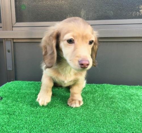 カニンヘンダックスフンド(ロング)の子犬(ID:1246311069)の1枚目の写真/更新日:2017-10-02
