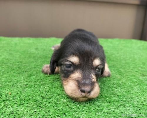 カニンヘンダックスフンド(ロング)の子犬(ID:1246311070)の1枚目の写真/更新日:2019-11-07