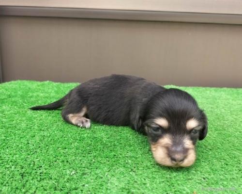 カニンヘンダックスフンド(ロング)の子犬(ID:1246311070)の2枚目の写真/更新日:2019-11-07