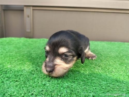 カニンヘンダックスフンド(ロング)の子犬(ID:1246311070)の3枚目の写真/更新日:2019-11-07