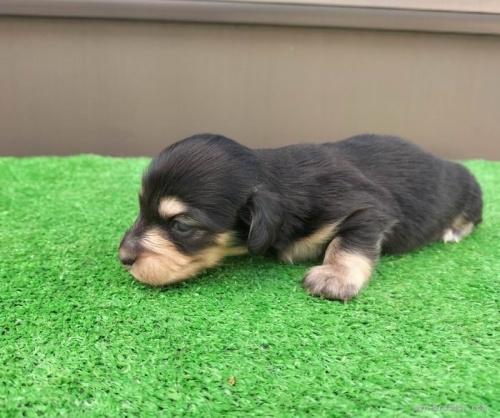 カニンヘンダックスフンド(ロング)の子犬(ID:1246311070)の4枚目の写真/更新日:2021-07-31