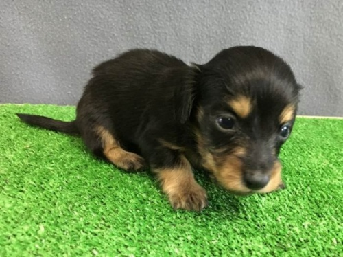 カニンヘンダックスフンド(ロング)の子犬(ID:1246311071)の1枚目の写真/更新日:2019-11-07