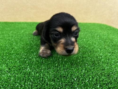 カニンヘンダックスフンド(ロング)の子犬(ID:1246311071)の3枚目の写真/更新日:2019-11-07