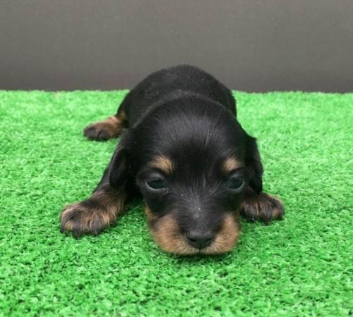 カニンヘンダックスフンド(ロング)の子犬(ID:1246311072)の1枚目の写真/更新日:2017-11-13