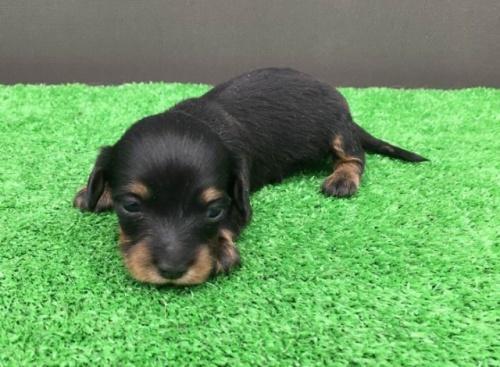 カニンヘンダックスフンド(ロング)の子犬(ID:1246311072)の2枚目の写真/更新日:2017-11-13