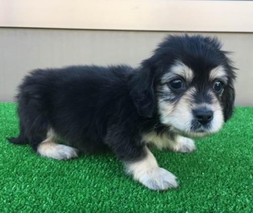 カニンヘンダックスフンド(ロング)の子犬(ID:1246311073)の1枚目の写真/更新日:2017-12-04