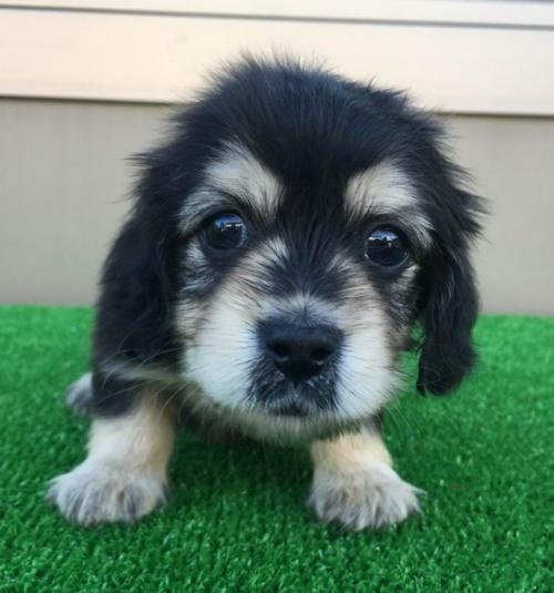 カニンヘンダックスフンド(ロング)の子犬(ID:1246311073)の2枚目の写真/更新日:2017-12-04