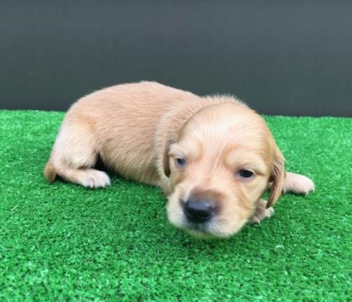 カニンヘンダックスフンド(ロング)の子犬(ID:1246311076)の1枚目の写真/更新日:2020-03-11