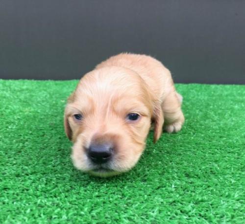 カニンヘンダックスフンド(ロング)の子犬(ID:1246311076)の2枚目の写真/更新日:2020-03-11