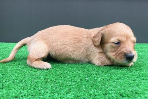 カニンヘンダックスフンド(ロング)の子犬(ID:1246311076)の3枚目の写真/更新日:2020-03-11