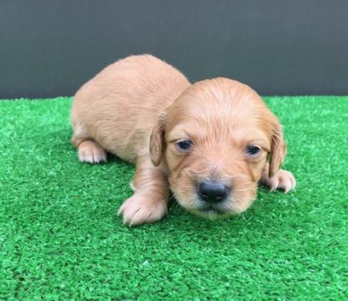 カニンヘンダックスフンド(ロング)の子犬(ID:1246311077)の1枚目の写真/更新日:2018-05-21