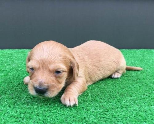 カニンヘンダックスフンド(ロング)の子犬(ID:1246311077)の2枚目の写真/更新日:2020-03-11