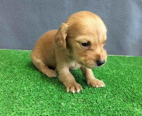カニンヘンダックスフンド(ロング)の子犬(ID:1246311078)の1枚目の写真/更新日:2019-11-07