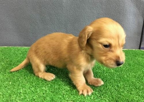 カニンヘンダックスフンド(ロング)の子犬(ID:1246311078)の2枚目の写真/更新日:2019-11-07