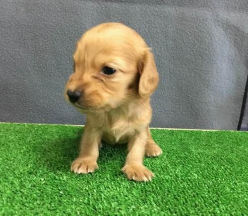 カニンヘンダックスフンド(ロング)の子犬(ID:1246311078)の3枚目の写真/更新日:2019-11-07