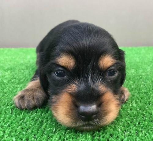 カニンヘンダックスフンド(ロング)の子犬(ID:1246311079)の3枚目の写真/更新日:2018-03-11
